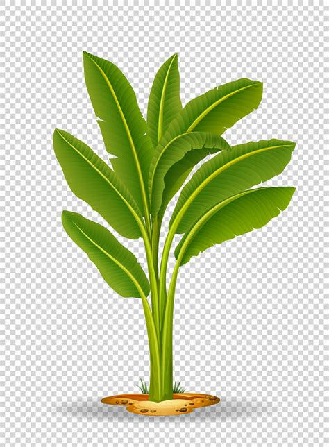 Banana tree on transparent background - Download Free